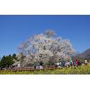 記事ID 201202231751: 一心行の大桜 - 情報登録日: [20120223] / 情報更新日: [20120223]