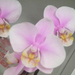 2本立て胡蝶蘭 ピンク: 品種名 さくら (ノビースアミー)