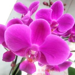 2本立て胡蝶蘭 紫: 品種名 満天紅 (まんてんこう)